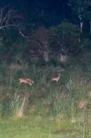夜の鹿の目ウォッチング